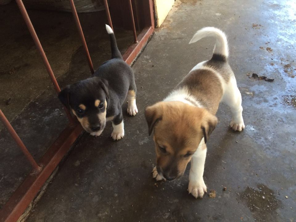 Puppies Jack Russel x