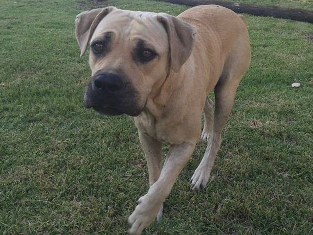 Boerbul 5yrs Female (Good with Children)