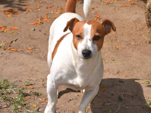 Chokkies 2yrs Male - Jack Russel (Strong, needs TLC)