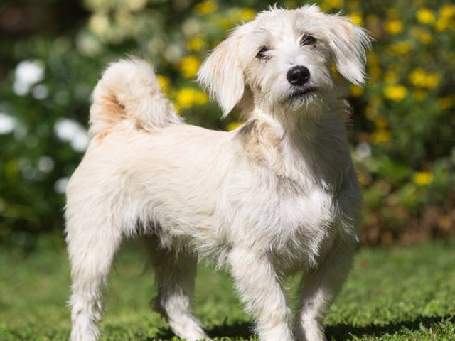 Scruffy 2yrs Male - Maltese x (very busy)